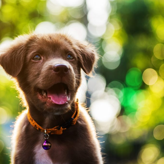 Brown cute  nova scotia duck tolling retriever puppy dog portrait with sunset and foliage bokeh abstract background